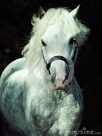 Portrait of  running gray  welsh pony at dark background