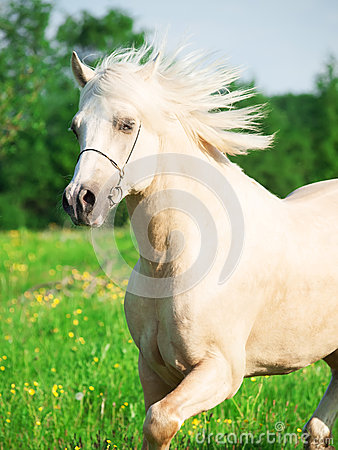 Portrait of running palomino welsh pony in blossom field