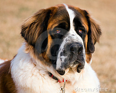 Portrait of a Saint Bernard