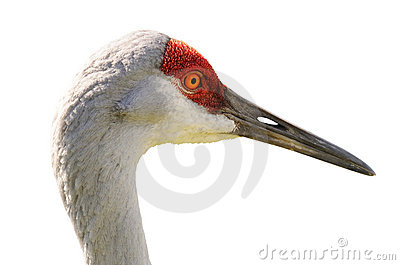 Portrait of Sandhill Crane Isolated