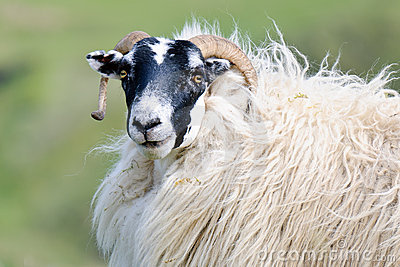 Portrait of a Scottish blackface sheep, Scotland