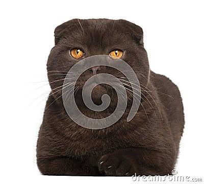 Portrait of Scottish Fold cat, 1 year old