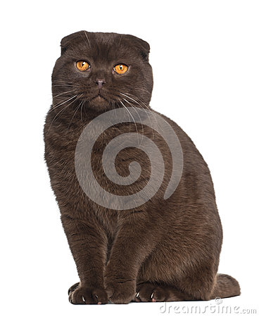Portrait of Scottish Fold cat, 1 year old