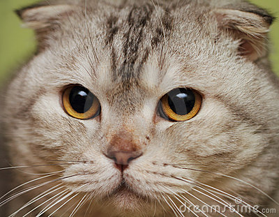 Portrait of the scottish fold cat