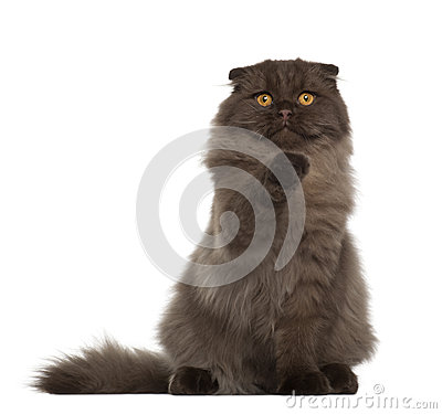 Portrait of Scottish Fold cat