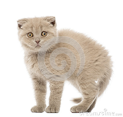Portrait of Scottish Fold Kitten, 9 weeks old