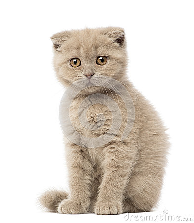 Portrait of Scottish Fold Kitten sitting