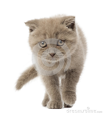 Portrait of Scottish Fold Kitten walking
