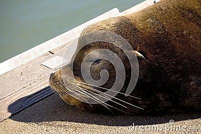 Portrait of sea lion