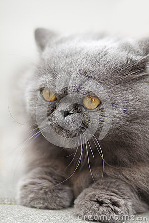 Free Portrait Serious British Cat Stock Photo - 29980930