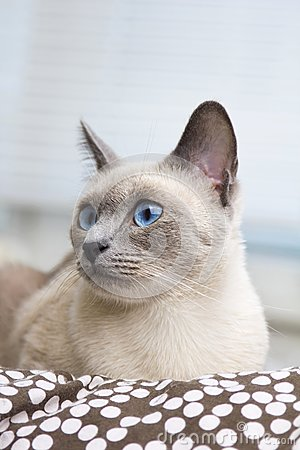 Portrait of a Siamese Cat s Face
