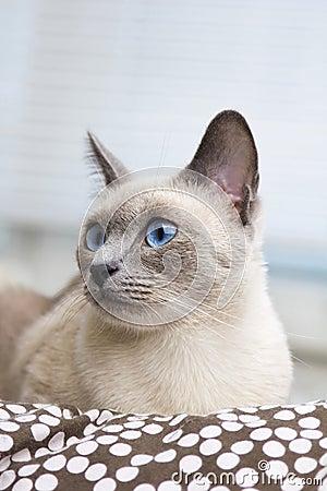 Portrait of a Siamese Cat s Face