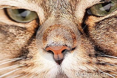 Portrait of Siberian cat