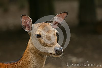 Portrait of sika deer.