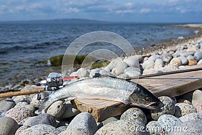 Portrait of silver sea trout fishing trophy