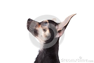Portrait of small doggy on white