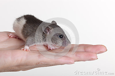 Portrait of a small rat