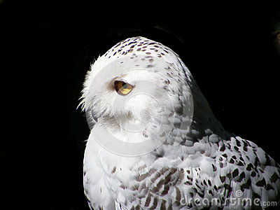 Portrait of snowy owl isolated on black