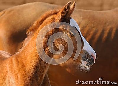 Portrait of sorrel foal