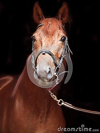 Portrait of sorrel Trakehner stallion on black background