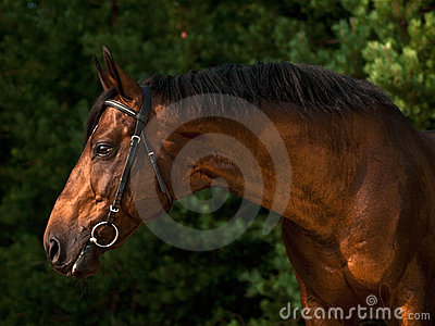 Portrait of the sportive horse