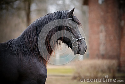 Portrait of a sports black horse.