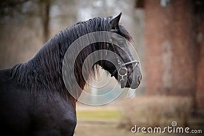 Portrait of a sports black horse.