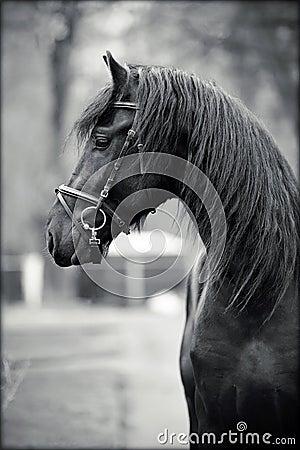 Portrait of a sports black stallion.