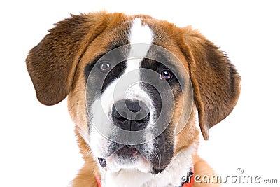 Portrait of St. Bernard dog