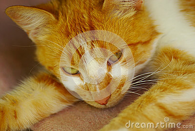 Portrait of a striped ginger white cat