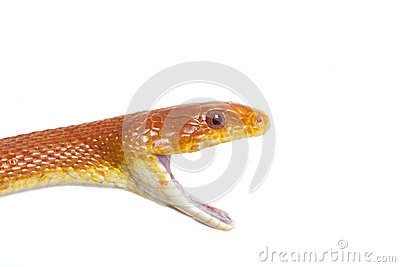 Portrait of Texas rat snake closeup