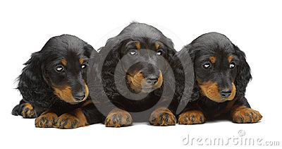 Portrait of three puppies of Dachshund