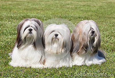 Portrait of three purebred Lhasa Apso