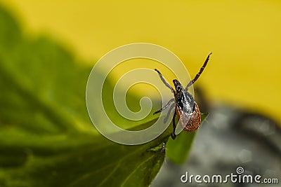 Portrait of a tick