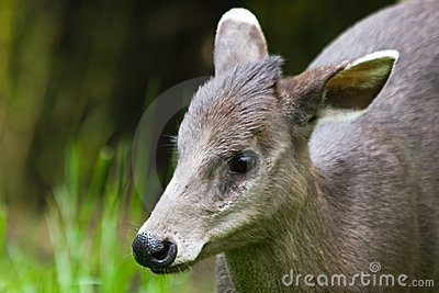 Portrait of tufted deer female