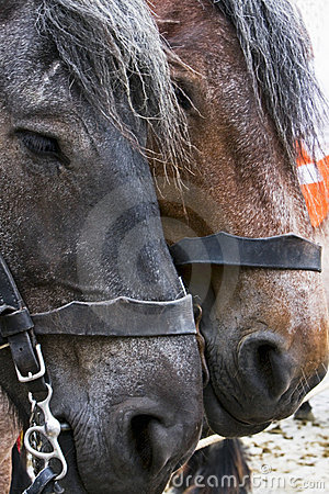 Portrait of two brown horses