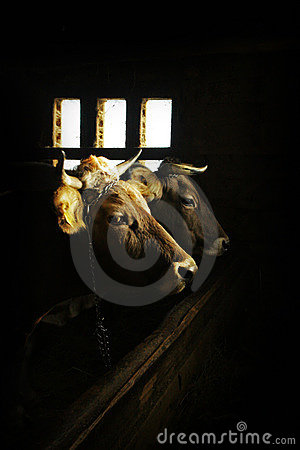 Portrait of two cows in the dark barn
