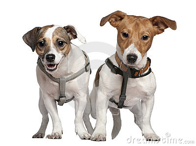 Portrait of two Jack Russell terriers, 2 years old