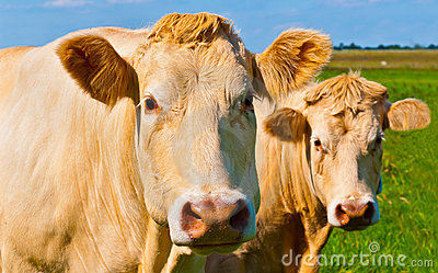 Portrait of two light brown cows in a Dutch meadow