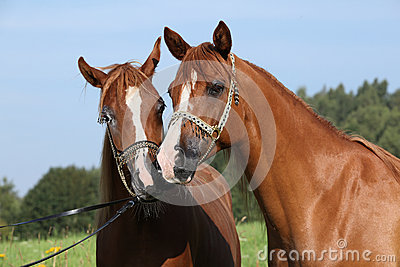 Portrait of two nice arabian horses