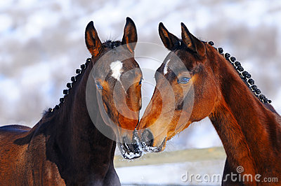 Portrait of two young horses