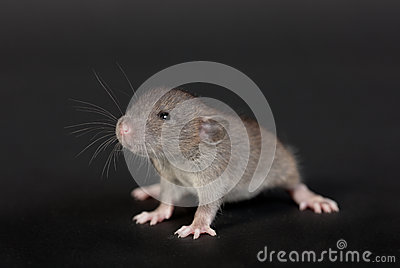 Portrait of a very young rat