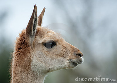 Portrait of a vicuna