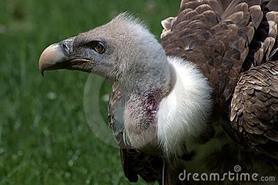 Portrait of the vulture