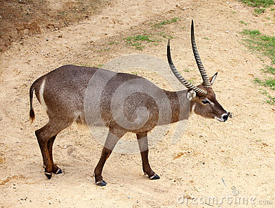 Portrait Of waterbuck