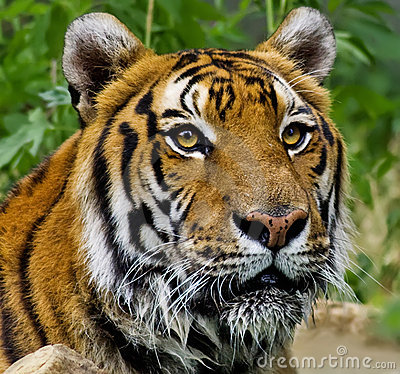 Portrait of a wet Tiger