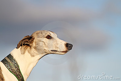 Portrait of a whippet in evening sunlight.
