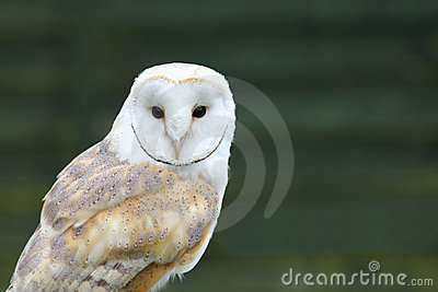 Portrait of White Barn owl (Tyto alba)