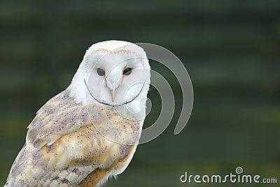 Portrait of White Barn owl (Tyto alba)