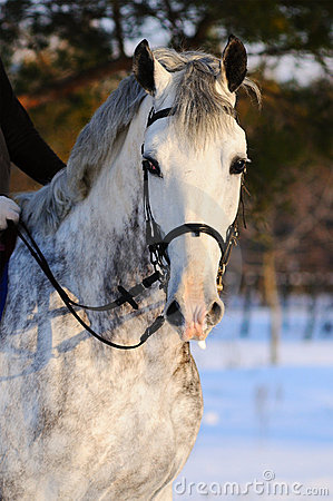 Portrait of white dressage horse